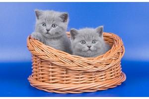 Шотландские котята de Romans